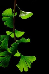 320px-Ginkgo_Biloba_Leaves_-_Black_Background-Nature To Nurture Aromatherapy & Massage in Hemel, Herts & Bucks