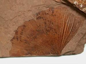 Ginkgo biloba leaf - Nature to Nurture; Aromatherapy Massage in Hemel & St Albans