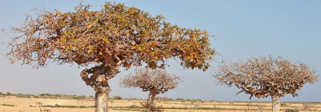 Myrrh Tree Commiphora - Banner - Nature To Nurture - Aromatherapy In Hemel & St Albans