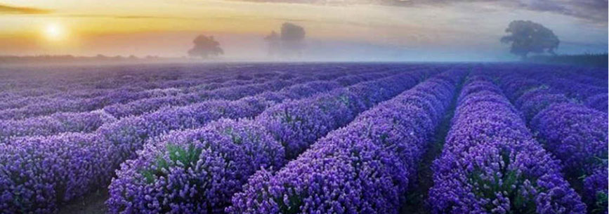 Lavender Fields - Nature to Nurture; Aromatherapy Massage in Hemel & St Albans