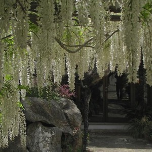 My favourite Wisteria in full bloom at La Serrania