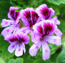 Serum ingredient: Geranium (Pelargonium graveolens) is a natural hormonal & skin balancing essential oil