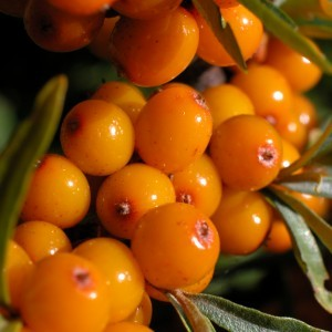 Seabuckthorn oil is obtained from the berries of the fruit & has a rich orange colour to match