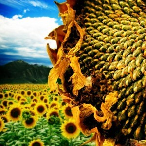 Sunflower Seed oil is full of highly beneficial properties, vitamins, minerals & EFA's